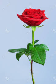 single red rose flower. Beautiful Rose Single Red Rose Flower On Blue Background Stock Photo  62631780 And Single Red Rose Flower I