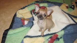 Specializing In Teacup Chihuahua Puppies For Sale Chihuahua