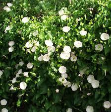 Honeysuckle Lonicera Japonica U0027Darts Worldu0027 Spring Through To Wall Climbing Plants Southern California