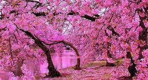 Bunga Sakura Nama Latin Bunga Sakura Si Manis Pembawa Impian Dan