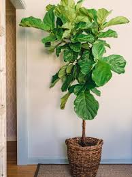 Decorative Indoor Trees Houseplants Guide Hgtv