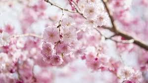 Bunga Sakura 12 Jenis Bunga Sakura Di Jepang Semuanya Cantik Banget