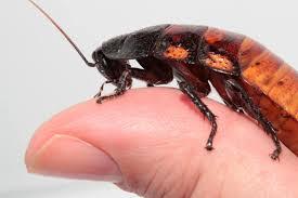 Humane Cockroach Control Peta