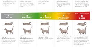 Cat Body Shape Chart Adult Cat Advice Food Edgemoor Vets