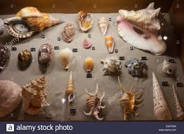 sea shells collection sea shells collection in natural history museum rotterdam in holland