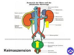 ableitende harnwege anatomie