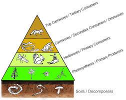 animal food pyramid. Exellent Food Focus With Animal Food Pyramid O