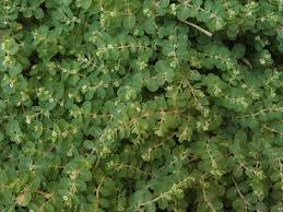 Euphorbia chamaesyce - Wikipedia