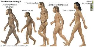 human evolution stages timeline com human lineage human evolution