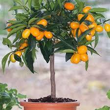 Kumquat Tree  No Flowering And No FruitKumquat Tree Not Bearing Fruit