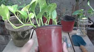 money plant maintenance how to make your money grow fast summer care urdu hindi