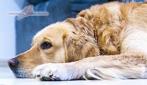Canine Lymphoma Symptoms Dog Cancer Symptoms Diagnosis Treatment