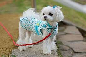 maltese dog. what\u0027s a cute maltese puppy name for this girl? dog