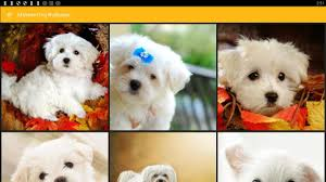 Maltese Dog Wallpaper for Android - APK ...