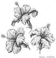 夏の花 ハイビスカス 花びら 蕾のイラスト素材 Pixta