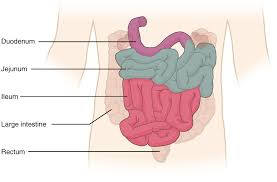 the small and large intestines · anatomy and physiologythis diagram shows the small intestine  the different parts of the small intestine are labeled
