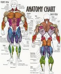 Muscle Anatomy Chart Physical Education