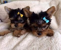 cute yorkie puppies for sale. Delighful Yorkie Image 1 Of For Cute Yorkie Puppies Sale U