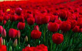 Red Flower Wallpaper Wallpapermisc Red Flower Garden Hd Wallpapers Free Top High