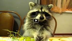Raccoons In Vending Machine Beauteous Someone Gave A Raccoon Some Grapes Ferocious Animals Pinterest