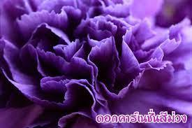 ความหมายของดอกคาร์เนชั่น และประวัติความเป็นมา – FLORAISON