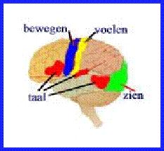Menselijke hersenen - wikipedia