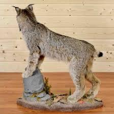 lynx size canadian lynx taxidermy hunting trophy at safariworks taxidermy sales