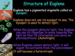 What Detects Light In The Euglena Hello My Collegiate Stars Ppt Download