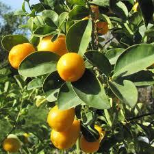 45 Year Old Meiwa Kumquat TreeKumquat Tree Not Bearing Fruit