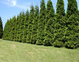 It's Easy to Plant & Care for Your Thuja Green Giant