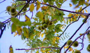 Image result for black walnut tree