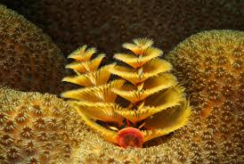 Biomesfifth08  Coral Reef FactsChristmas Tree Worm Facts