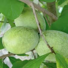 Nanking Red Bush Cherry  Prunus Tomentosa Same Bush Type Fruit Trees That Grow In Nc