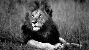 White Lion Wallpaper Hd Lion Wild Black And White Hd