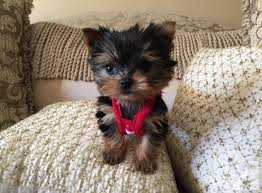 baby yorkshire terrier. Wonderful Baby Pets And Animals For Sale In Berne Pennsylvania  Puppy Kitten  Classifieds Buy Sell Kittens Puppies Americanlistedcom With Baby Yorkshire Terrier A