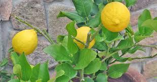 How To Grow Dwarf Citrus Trees Gardeners Path