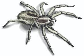 Arizona Spiders Identification Chart Wolf Spider Infestation How To Get Rid Of Wolf Spiders