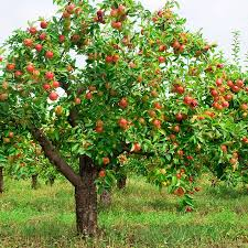 How To Plant Grow Prune And Harvest Apples