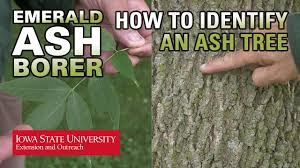 Fruit Tree Identification Chart How To Identify An Ash Tree