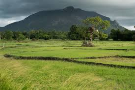in the hot zone ckdu in sri lanka ed kashi a mountain overlooks scenic rice fields near aluth oya dimbulagala district near polonnaruwa