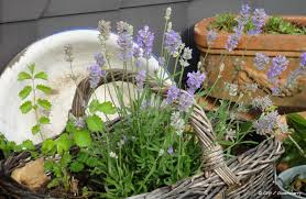 Uses Of Kitchen Garden True Lavender Uses In Garden And Kitchen Greenduck