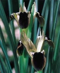 Hermodactylus Iris tuberosus