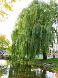 Salix babylonica weeping willow Salicaceae SABA*; Bx, br, pb; NY; Q, a, j;  K; R, fk, is, w;