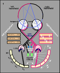 slide show the neural control of vision b 1 b wiring diagram of the visual system