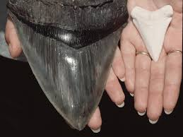 megalodon shark tooth compared to great white.  White The Tooth Of Extinct Megalodon Shark Charcharodon Megalodon And That A Great  White For Shark Tooth Compared To L
