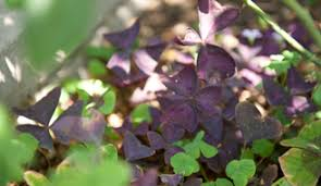 oxalis weed killer. Simple Weed Oxalis Or Wood Sorrel Is A Common Weed Found In Lawns While Young Plants  Can Be Removed By Hand Applying Killer Ensures The Plant Killed Down  Throughout Oxalis Weed Killer