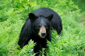 Image result for north idaho black bear