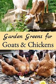 garden greens. But Some Garden Greens Are This List Identifies From Your That Good For Chickens And/or Goats