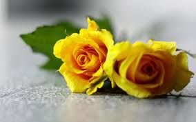 Free download wallpapers Yellow Rose ...