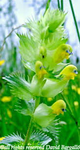 Margarida -- by David Bargall i Chaves These flowers lok like baby chicks  growing on a stem.